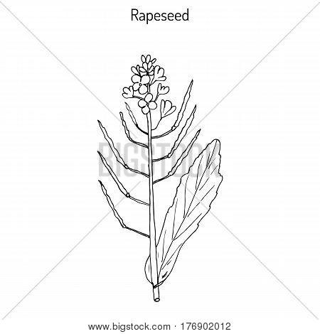 Rapeseed Brassica napus , or rape, oilseed rape, rapa, rappi, rapaseed. Hand drawn botanical vector illustration