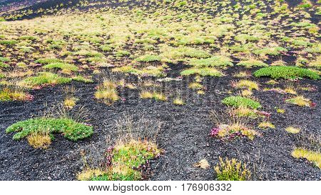 First Plants On Volcanic Land Of Mount Etna