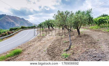Olive Trees And Vineyard On Roadside In Sicily