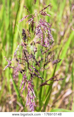 Panicles Of Festuca Rubra (red Fescue) Close Up