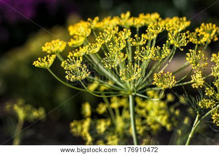 Big yellow dill flower in the garden close up
