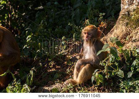 The monkey sits near the tree, Swayambhunath Temple, Kathmandu, Nepal