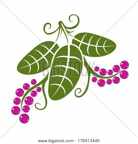 Three Vector Flat Green Leaves With Tendrils And Purple Seeds. Herbal And Botany Symbol Isolated On