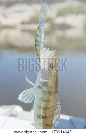 Pike Perch Caught On A Spinning On The River.hooked Fish