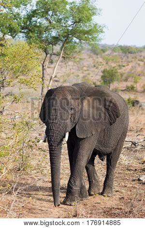 Young African elephant in Kruger National Park, South Africa.
