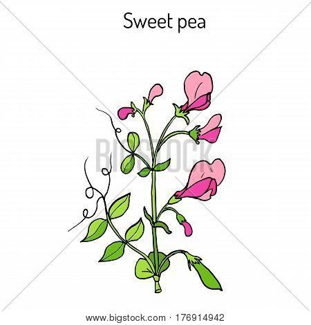 Sweet pea Lathyrus odoratus . Hand drawn botanical vector illustration