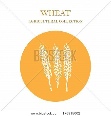 Hand drawn wheat ears sketch. Cereal, agricultural crops. Vector illustration