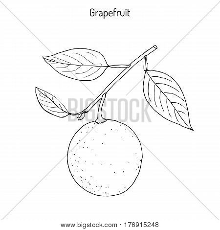 Grapefruit Citrus paradisi , subtropical citrus tree, hand drawn botanical vector illustration