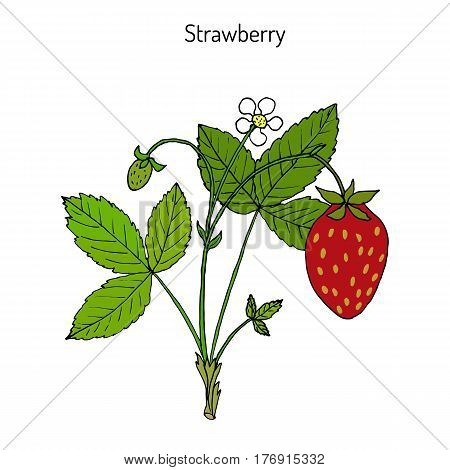 Garden strawberry Fragaria ananassa plant. Hand drawn botanical vector illustration