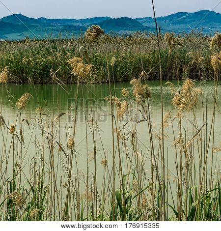 The thickets of reeds on the pond