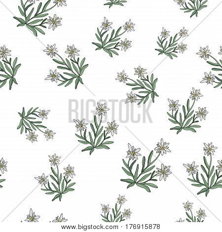 Edelweiss seamless pattern, nature collection. Vector illustration