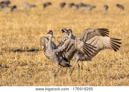Sandhill Cranes during the Spring migration in Monte Vista Colorado.