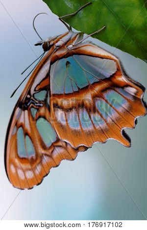 Red Lacewing Butterfly (lat. Cethosia Biblis)