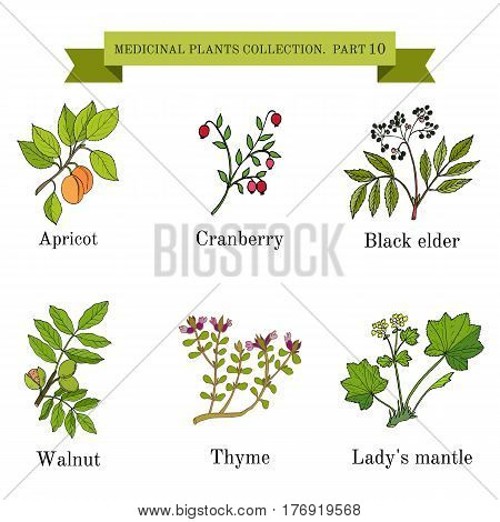 Vintage collection of hand drawn medical herbs and plants, apricot, cranberry, black elder, walnut, thyme, lady s mantel. Botanical vector illustration