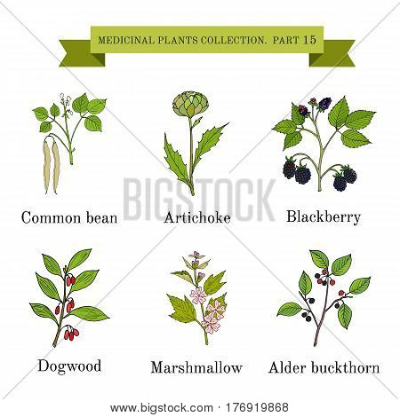 Vintage collection of hand drawn medical herbs and plants, common bean, artichoke, blackberry, dogwood, marshmallow, alder buckthorn. Botanical vector illustration