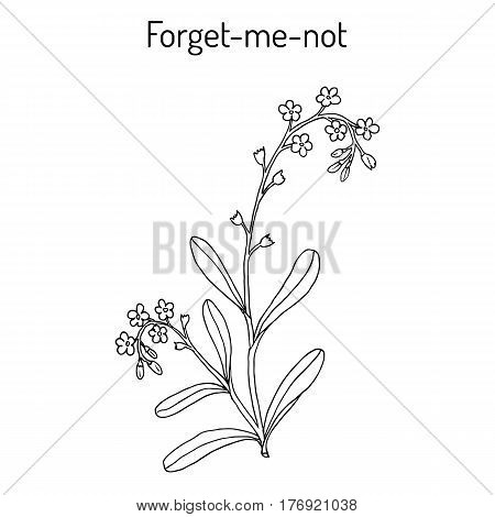 Forget-me-not Myosotis arvensis . Hand drawn botanical vector illustration