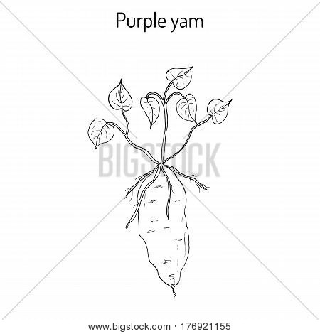 Purple yam Dioscorea alata , a tuberous root vegetable. Hand drawn botanical vector illustration