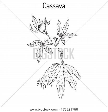 Cassava Manihot esculenta , or Brazilian arrowroot, manioc, tapioca, plant with leaves and tubers. Hand drawn botanical vector illustration