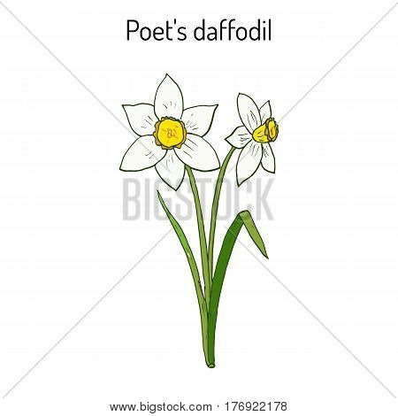 Narcissus, or daffodil, daffadowndilly, jonquil  Hand drawn botanical vector illustration