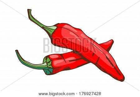 Red chilli pepper food vegetable ingredient paprika spicy and fresh vegetarian color organic ingredient vector illustration. Spices seasoning hand drawn style food herb element.