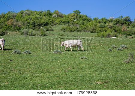 Cows grazing in the hills of Lazio