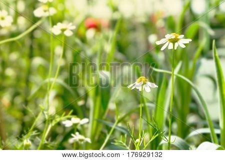 two beautiful white daisy flowers with green leaves field in garden bright day light. beautiful natural blooming coneflower in spring summer.