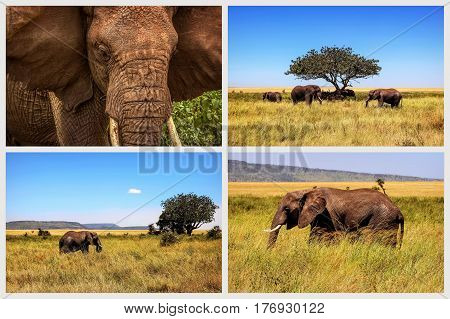 Wild elephant in the African savannah. African collage.