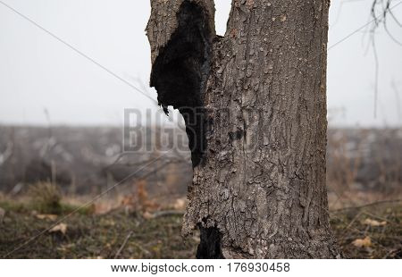Burnt сharred tree trunk in the scorched field at foggy spring morning. Dead tree after the fire