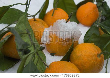 Fresh ripe mandarins on snow Mandarin over white frozen snow. Tangerines in snow