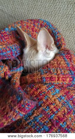 A small white dog is asleep wrapped in a blanket. Big ears of chihuahua.