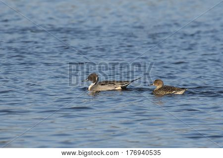 Northern Pintail (Anas acuta) couple swimming in water of a Lake