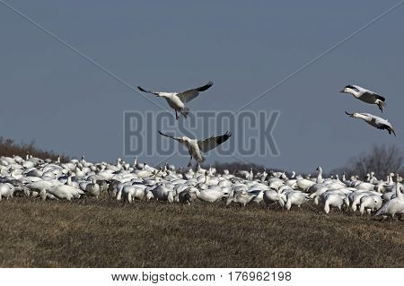 Snow geese in flight during the spring migration at Middle Creek Wildlife Management Area.