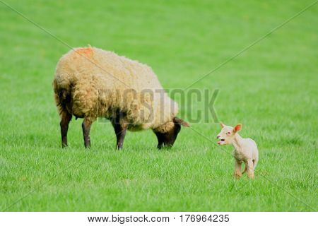 Young lamb bleating on a farmland in Devon