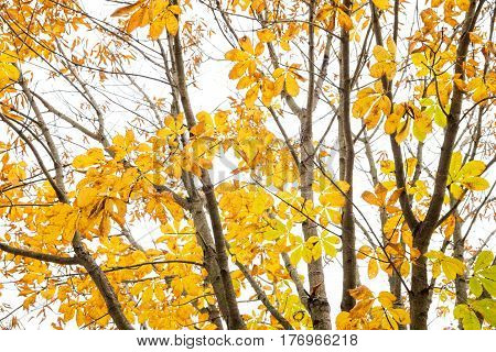 Autumn japanese horse chestnut leaves(Aesculus turbinata) in front of white sky