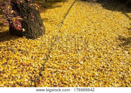 Ground covered bright yellow ginko fallen leaves in late autumn