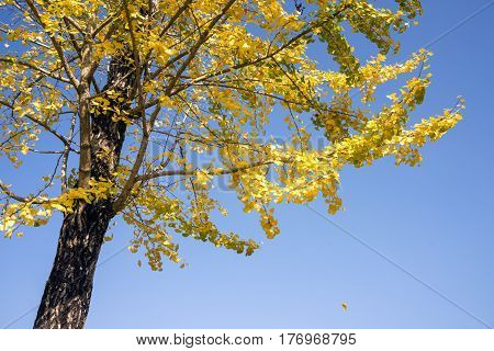 Bright yellow ginko leaves in front of blue sky