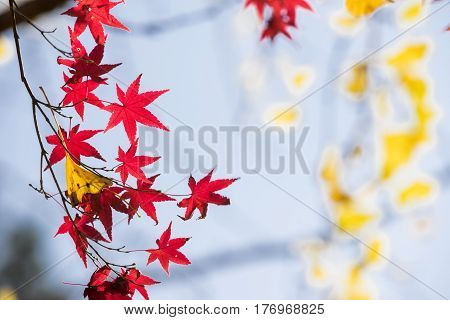 Close up red maple leaves with yellow ginko leaf in late autumn