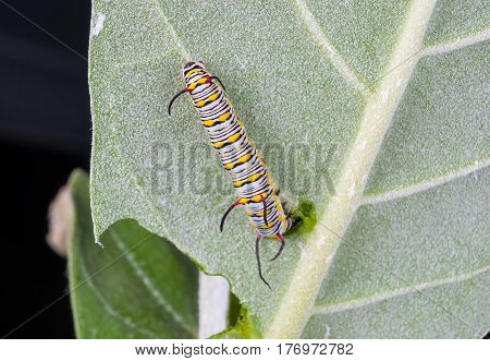 Closeup To Larva Plain Tiger Butterfly Caterpillar, Danaus Chrysippus