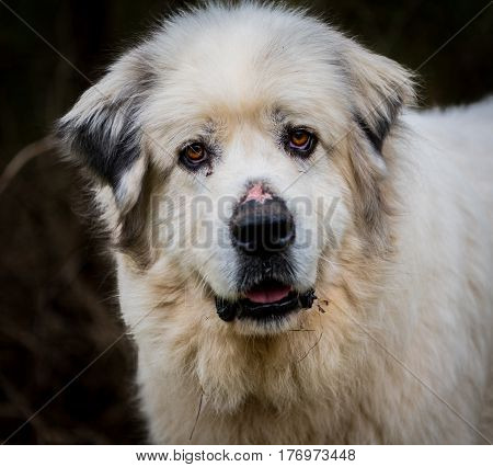 Curious Face of A Great Pyrenees Herding Dog at work