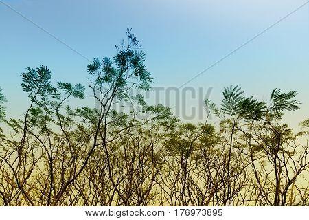Leafless tree branches of winter season season specific image of nature. Shot at Kolkata Calcutta West Bengal India