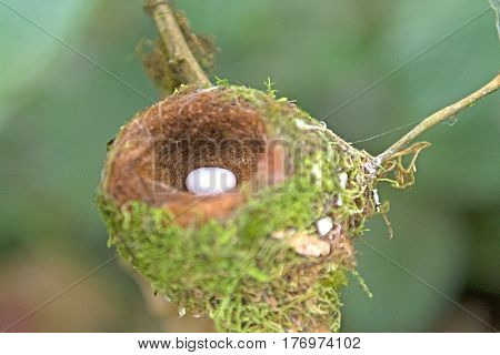 Hummingbird Egg in its Nest in the La Paz Wildlife Refuge in Costa Rica