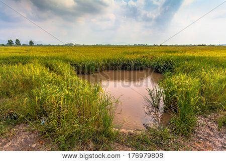 The rice husk from green starts to turn yellow. Close to rice harvest time. Farmers have to pump water in rice paddies out of paddy fields to harvest rice.