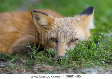 Red Fox In Nature (vulpes Vulpes)