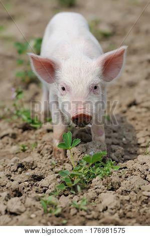 Piglet On Spring Grass