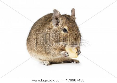 Degu eating dried fruits isolated on a white background