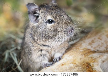 Small degu peeking from behind the branches in the forest