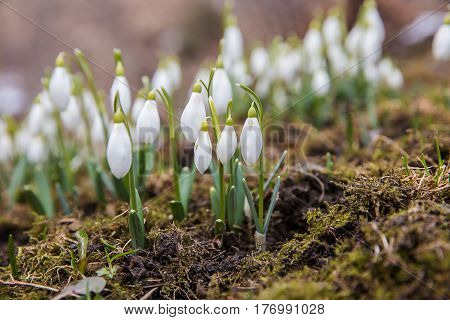The first snowdrops in March in the mountains of the Carpathians.