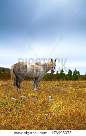 Single white horse grazing in a meadow morning. Autumn and foggy weather. Russia Altai.