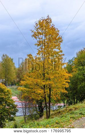 Autumn Linden tree with yellow leaves on top of a hill surrounded by green trees and grass