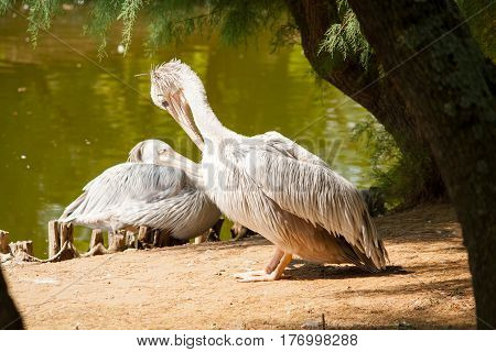 Two Spot-Billed pelicans in front of a pond